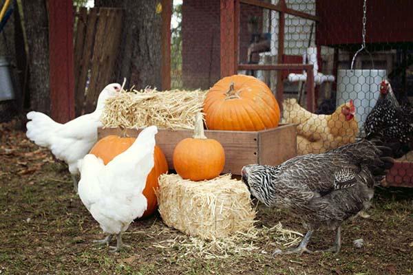 Chickens pumpkins