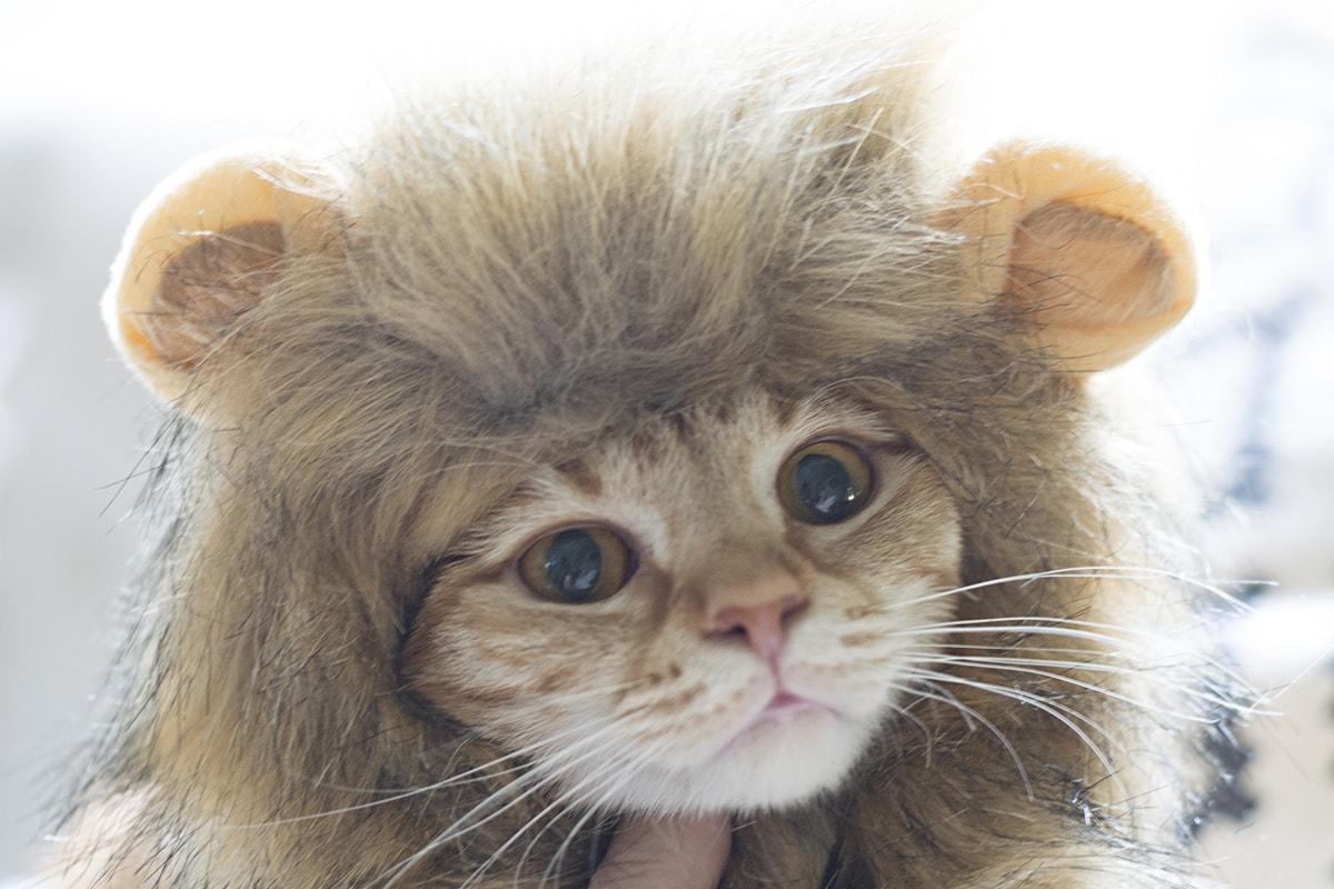 orange tabby in lion costume